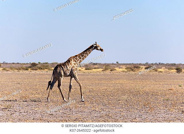 Southern giraffe (Giraffa camelopardalis), Central Kalahari National Park, Botswana