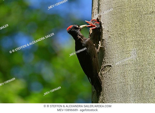 Black Woodpecker - adult feeding chicks at breeding hole in a Beech Tree - spring (Dryocopus martius). Baden-Wuerttemberg, Germany