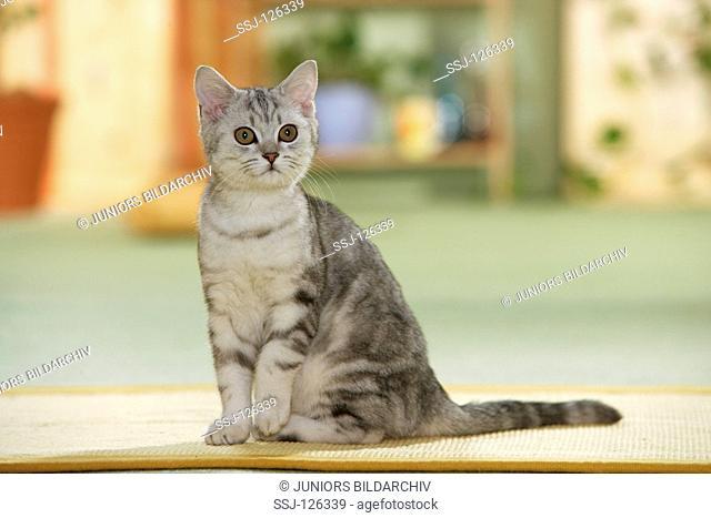 British Shorthair cat - sitting restrictions:Tierratgeber-Bücher / animal guidebooks