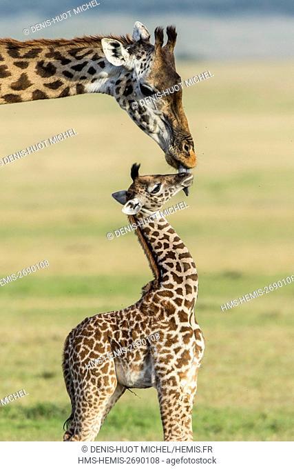 Kenya, Masai-Mara Game Reserve, Girafe masai (Giraffa camelopardalis), female cleaning its baby