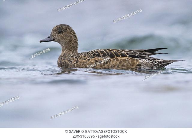 Eurasian Wigeon (Anas penelope), adult female swimming in a river