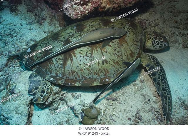 Green Turtle Chelonia mydas, resting with remora suckerfish to back, Sipidan, Mabul, Malaysia