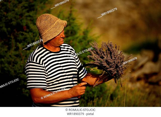 Senior Man Harvesting Lavender, Island Hvar, Dalmatia, Croatia, Europe