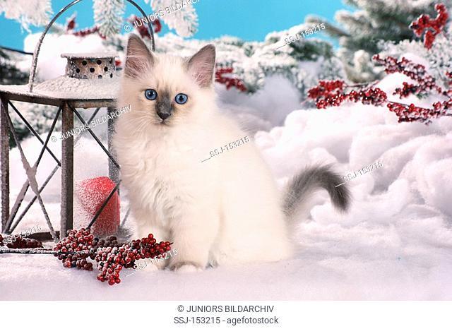 Sacred cat of Burma - kitten sitting in the snow