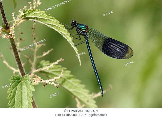 Banded Demoiselle Calopteryx splendens adult male, resting on nettle leaf, Nottinghamshire, England