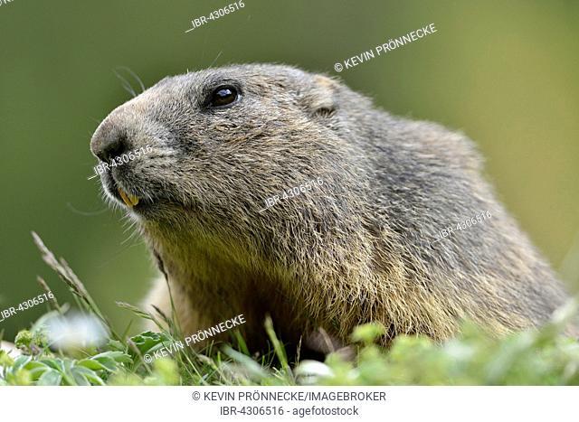 Alpine marmot (Marmota marmota) on alpine meadow, portrait, Dachstein Salzkammergut, Austria