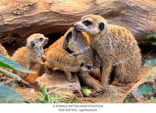 Meerkat or Suricate (Suricata suricatta), young animals (captive)