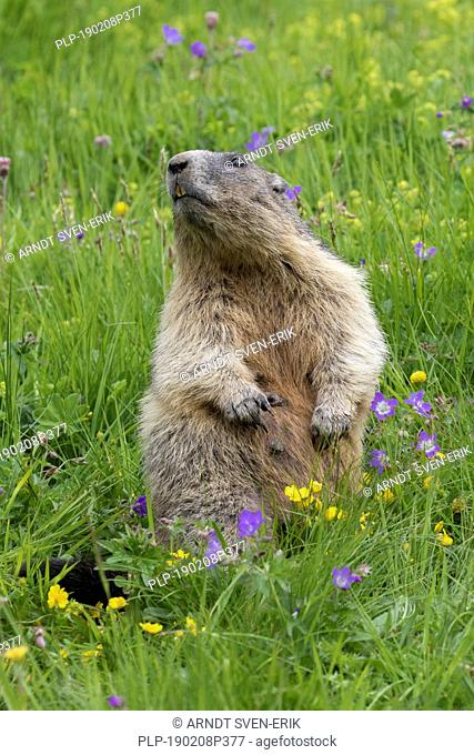 Alarmed Alpine marmot (Marmota marmota) standing upright among wildflowers in Alpine pasture, Hohe Tauern National Park, Carinthia, Austria