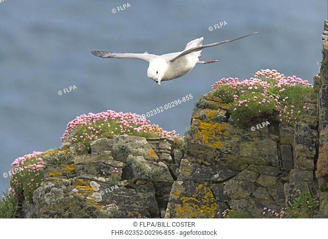 Northern Fulmar Fulmaris glacialis adult, in flight over clifftop, Sumburgh Head, Shetland Islands, Scotland