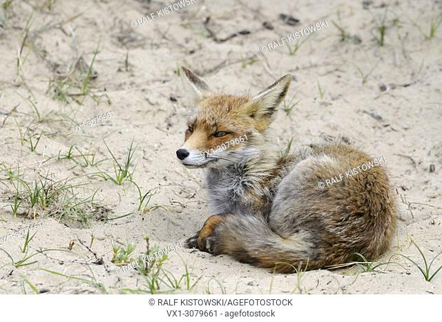 Red Fox ( Vulpes vulpes ), vixen in summer coat, resting in sand, holding siesta, still attentive, wildlife, Europe