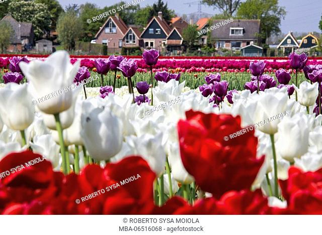 Multicolored tulip fields frame the village in spring Berkmeer Koggenland North Holland Netherlands Europe