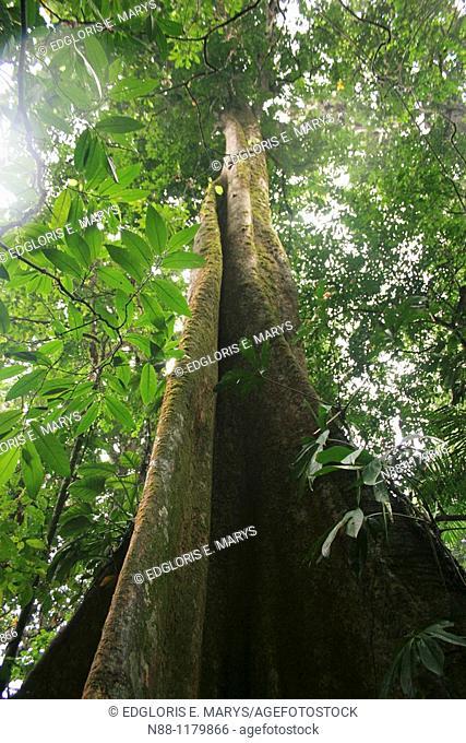 Gyranthera caribensis Pittier, Cloudy Forest, Parque Nacional Henry Pittier, Venezuela
