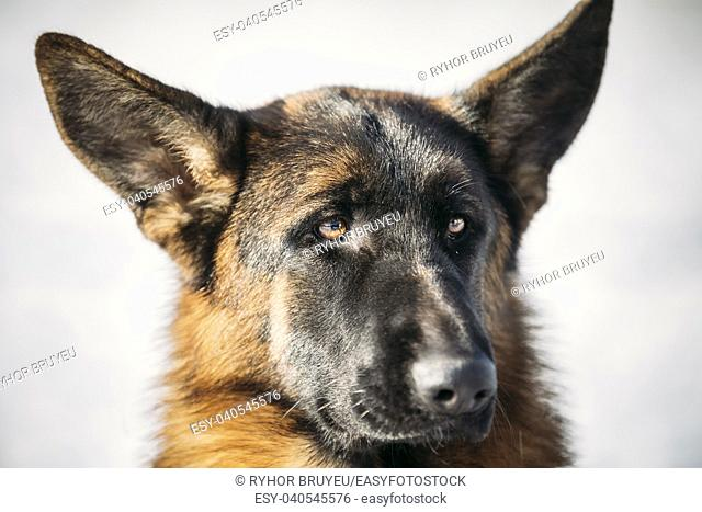 Close Up Young Brown German Shepherd Dog on Light Background