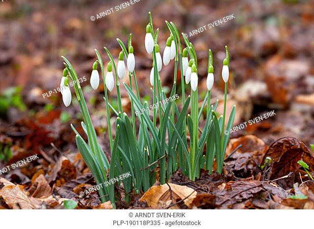 Common snowdrops (Galanthus nivalis) in flower in spring