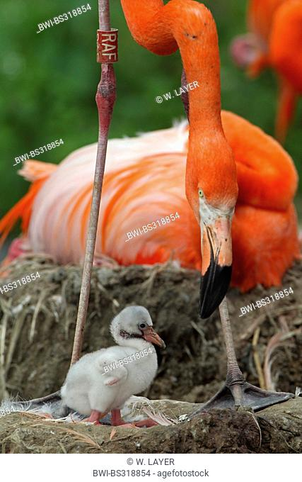 Greater flamingo, American flamingo, Caribbean Flamingo (Phoenicopterus ruber ruber), with chick in the nest