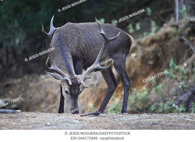 Deer in Sierra Blanca, Marbella, Malaga. Spain