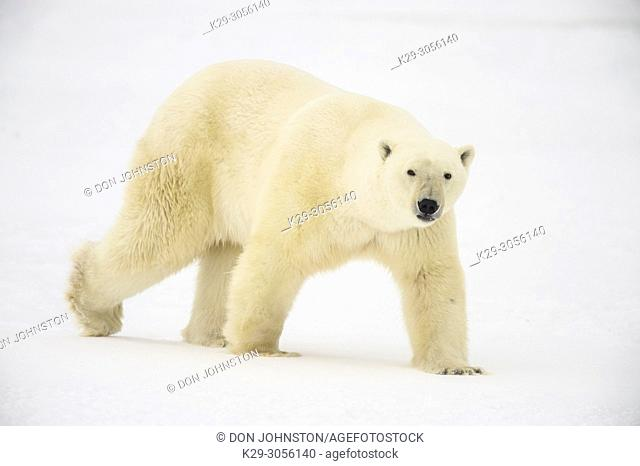 Polar Bear (Ursus maritimus) Wandering Hudson Bay coast waiting for sea ice, Wapusk NP, Cape Churchill, Manitoba, Canada