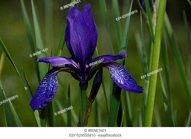 Blooming iris rare forest meadow at sunset