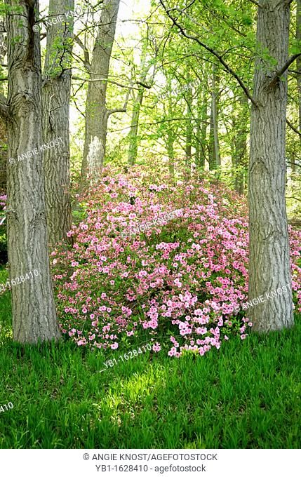A pink Azalea bush between two trees, in a wooded area Location: St Louis, Missouri, USA