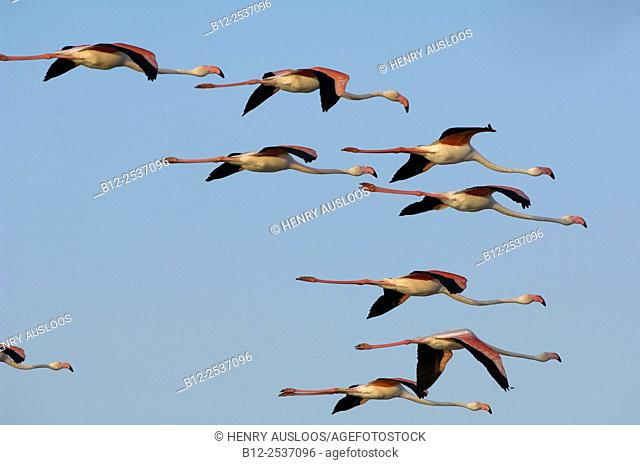 Great Flamingo Flight Phoenicopterus roseus, Camargue, France