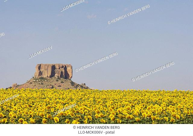 A Field of Sunflowers overlooked by a Koppie a small hill rising up from the African veld  Free State Province, South African