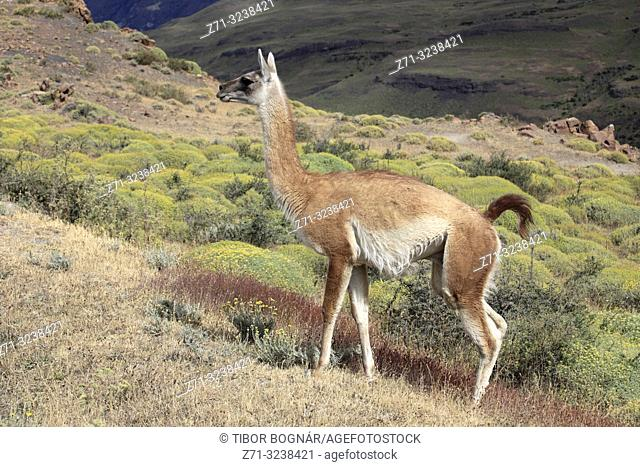 Chile, Magallanes, Torres del Paine, national park, guanaco, lama guanicoe,