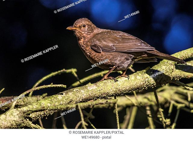germany, saarland, homburg - A blackbird is sitting on a branch
