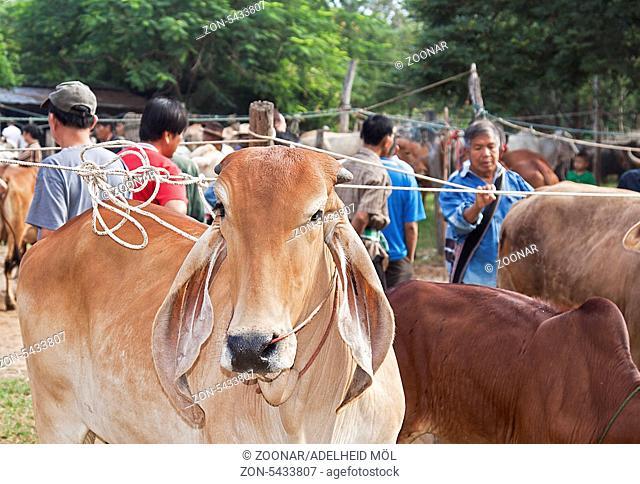 Asiatisches Buckelrind, Zebu, Brahman, Tiermarkt, San Patong, Thailand, Südostasien Asian zebu, animal market, San Patong, Thailand, Southeast Asia