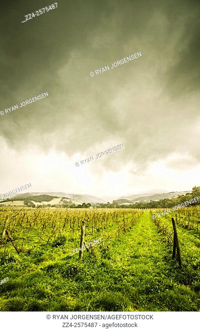 Vertical Tasmania farming landscape of a rows of winter apple trees on stormy copyspace clouds. Huon Valley agriculture