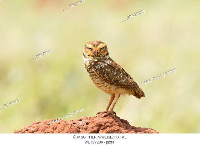 Burrowing Owl (Athene cunicularia), Mato Grosso do Sul, Brazil