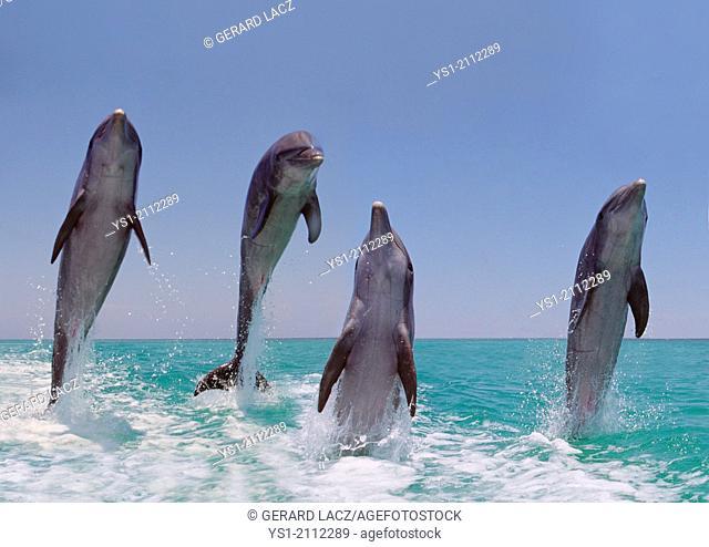 Bottlenose Dolphins, tursiops truncatus, Leaping, Honduras