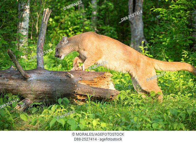 United States, Minnesota, Cougar Puma concolor, also known as the mountain lion