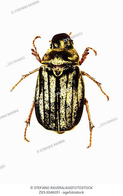 June Beetle in resin