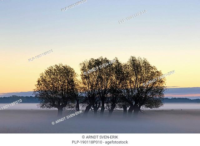 Row of pollard willows / pollarded white willows (Salix alba) in field with early morning mist in autumn at sunrise