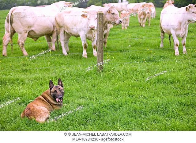 Dog - Belgian Shepherd lying in field with Cattle