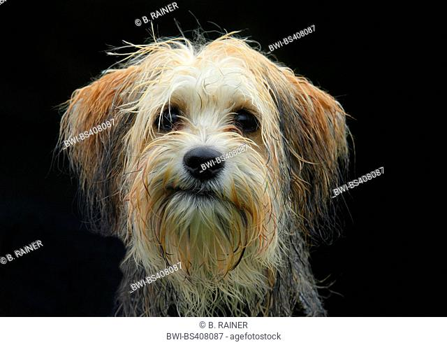mixed breed dog (Canis lupus f. familiaris), five months old male Maltese Chihuahua mixed breed dog, portrait with black background, Germany