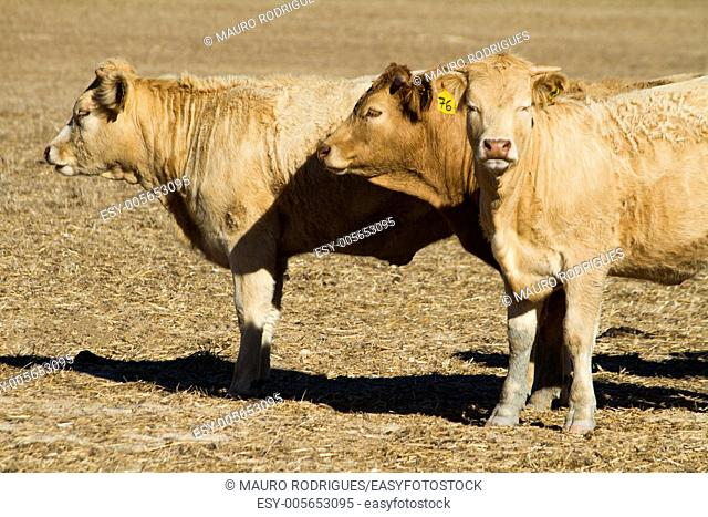 View of some brown cows on a Alentejo landscape