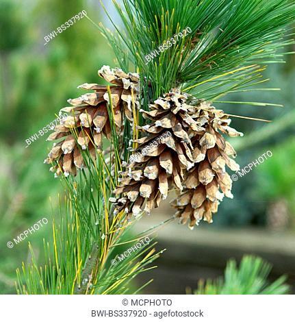 Schwerin's pine (Pinus schwerinii, Pinus x schwerinii, Pinus strobus x Pinus wallichiana), branch with cones, Germany, Saxony