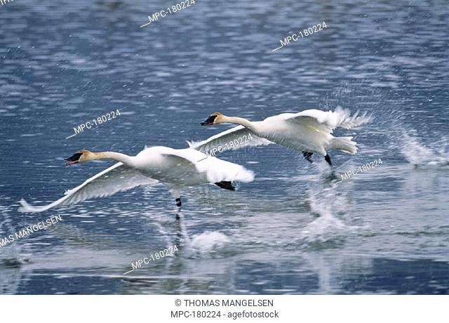 TRUMPETER SWAN (Cygnus buccinator),  PAIR TAKING FLIGHT, NATIONAL ELK  REFUGE, JACKSON HOLE, WYOMING
