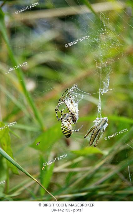 Black and yellow Ariope ( Argiope bruennichi) sitting in spider net with wrapped grasshoppers for prey