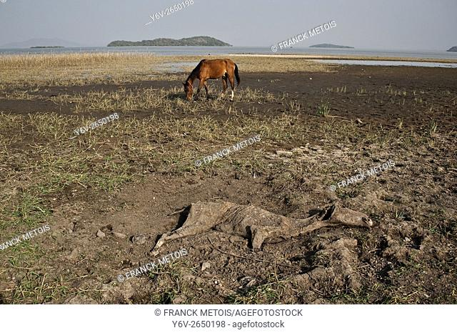 The carcass of a horse, a horse and Lake Ziway in the background. Ziway ( Oromiya state, Ethiopia)