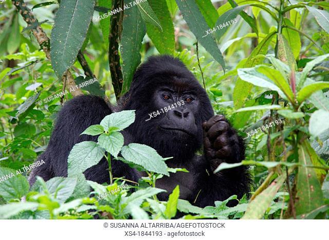 Mountain gorilla, Gorilla beringei beringei, are one of the most endangered species in the world, scientifics estimate that their are only around 700...
