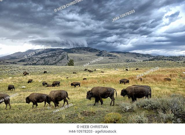 USA, United States, America, Wyoming, Yellowstone National Park, lamar valley, wildlife, storm, bos bison, buffalo, herd, UNESCO, world heritage, Rockies