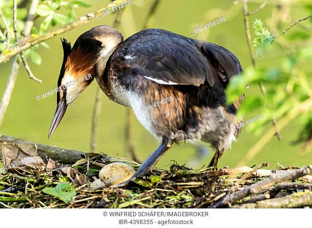 Great crested grebe (Podiceps cristatus) in nest, Nettetal, North Rhine-Westphalia, Germany