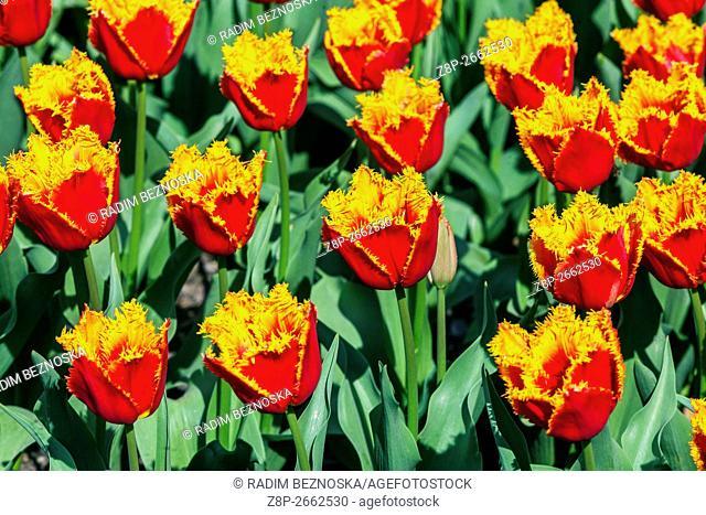 The beauty of blooming tulips, Tulipa crispa 'Palmares'