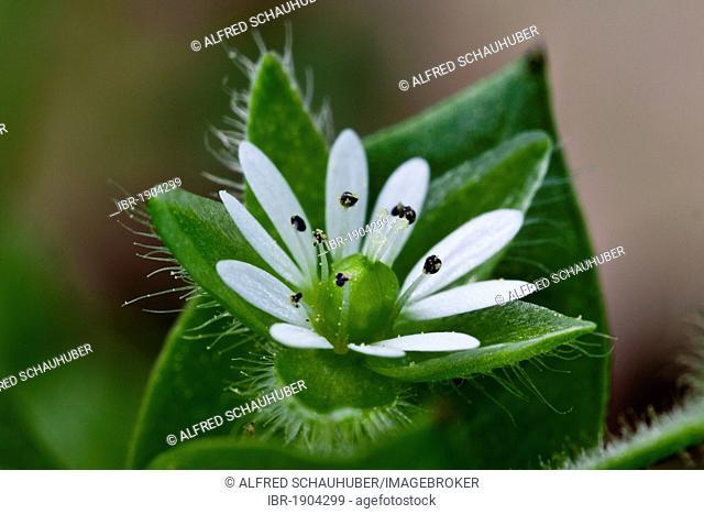 Greater stitchwort, Greater chickweed (Stellaria neglecta)