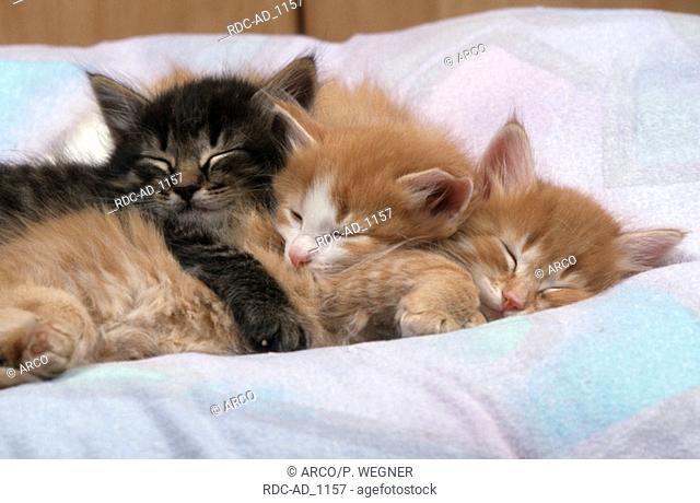 Norwegian Forest Cat kittens 6 weeks cushion pillow