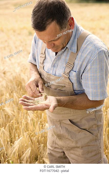 Mature farmer examining wheat crop while standing at farm