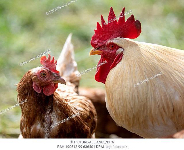 13 June 2019, Baden-Wuerttemberg, Freiberg am Neckar: A chicken in the open next to a rooster. Photo: Fabian Sommer/dpa. - Freiberg am...