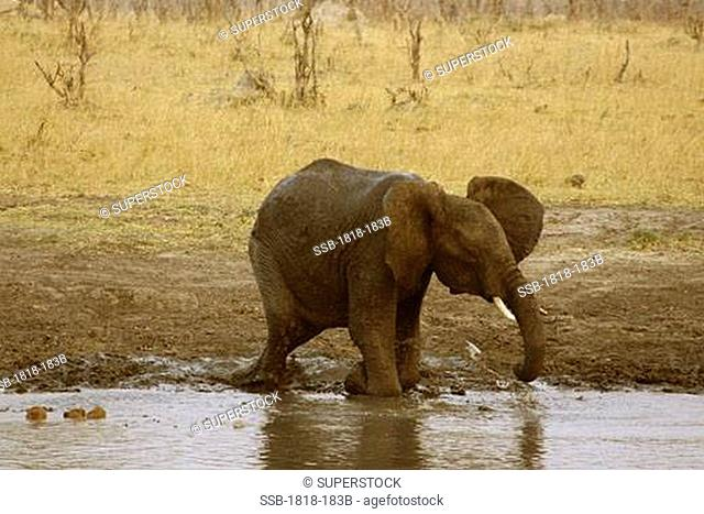 African elephant Loxodonta africana taking a mud bath at a waterhole, Hwange National Park, Zimbabwe
